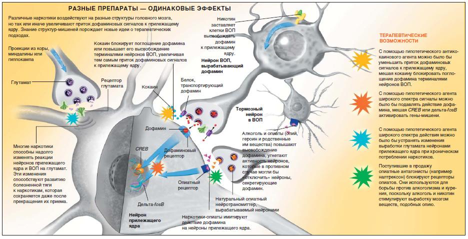 Что способствует выработке дофамина